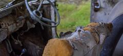 Abandoned truck near Ardgye, Scotland (vonHabsburg) Tags: car auto old alt abandoned verlassen rusty rostig verfallen rotten ford wood wald steeringwheel steuerrad seat sitz