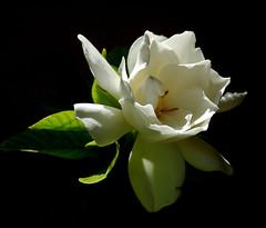 Dois de Novembro (Eduardo Amorim) Tags: flor flower fleur fiore blumen jasmim jasmin pelotas costadoce pampa campanha fronteira riograndedosul brsil brasil sudamrica sdamerika suramrica amricadosul southamerica amriquedusud americameridionale amricadelsur americadelsud brazil eduardoamorim jasminum