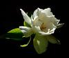 Dois de Novembro (Eduardo Amorim) Tags: flor flower fleur fiore blumen jasmim jasmin pelotas costadoce pampa campanha fronteira riograndedosul brésil brasil sudamérica südamerika suramérica américadosul southamerica amériquedusud americameridionale américadelsur americadelsud brazil eduardoamorim jasminum