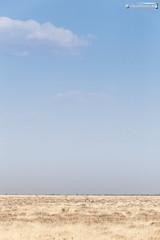 Etosha plants (dieLeuchtturms) Tags: 2x3 africa afrika antidorca antilopen antilopinae antilopini artiodactyla bovidae etoshanationalpark gazellenartige horntrger namibia paarhufer pecora ruminantia springbock stirnwaffentrger sugetiere vertebrata vertebrates wiederkuer wirbeltiere mammals springbok oshikotoregion