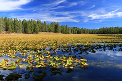 Looking for Lily (alideniese) Tags: swanlake heronpond grandtetonnationalpark wyoming usa landscape waterscape lake water nature waterlilies blue green trees sky clouds reflection light shadow sunny outdoors