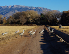 Sandhill Cranes (Grus canadensis);  Sandia Mountains in the background. Los Poblanos fields, Albuquerque Open Space. New Mexico, USA. (cbrozek21) Tags: sandhillcranes gruscanadensis albuquerque sandiamountains road fields fall autumn birds nature landscape