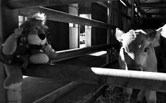 Leoncia y el ternero 8838 (Caty V. mazarias antoranz) Tags: arriondas asturias principadodeasturias spain espaa concejodeparres oviedo rosella descensodelsella canoas alquilerdecanoas terneros vacas leones peludos mamferos enlacuadra lagranja