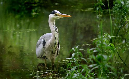 Grey Heron (Ardea cinerea), Parc du Rouge Cloître, Brussels