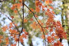 (eyawlk60) Tags:      momiji maple leaf