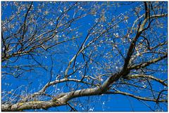 Witte bloesem AWD (voorhammr) Tags: 2016 annevandermeyden amsterdamsewaterleidingduinen blauwelucht herfst herfstkleuren herten spinnenweb zwanen