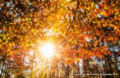 A Blast of Autumn (T i s d a l e) Tags: tisdale ablastofautumn fall autumn dogwoods sunrise november 2016 easternnc