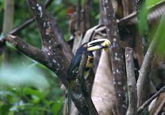 Collared Aracari - Pteroglossus torquatus (az3) Tags: ecuador toucan