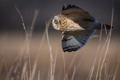 Searching (mLichy911) Tags: shorteared owl owls raptor bird pnw wa seattle canon 7dmarkii 500f4 nature portrait bif action bokeh dof wild wildlife cold winter flight glide search hunting