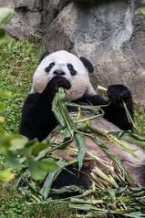 MMMMMM.... (Miles McNamee) Tags: zoo dczoo eating panda animal