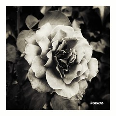 Rosa (Doenjo) Tags: rosa flor bn instagram flores