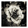 Rosa (Doenjo) Tags: rosa flor bn instagram