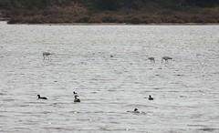 Flamingos, Möwen und Blässrallen in einer Lagune der Ria Formosa (fotoculus) Tags: portugal algarve algarvereise1210bis2112016 riaformosa vögel birds seevögel watvögel aves loiseaux limnicolen flamingos