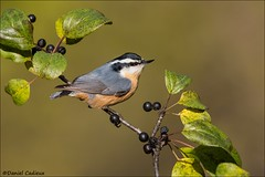 Red-breasted Nuthatch (Daniel Cadieux) Tags: nuthatch redbreastednuthacth male autumn berries fruit ottawa perch perched