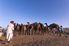 Camel flock (Karunyaraj) Tags: camel camelherder camelfair2016 camelfair herder evening shepherd cwc cwc561 chennaiweekendclickers goldentones golden goldenhour nikond610 d610 tokina1735 tokinalens