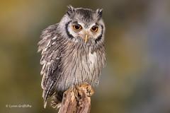 Southern White-faced Owl D50_4211.jpg (Mobile Lynn) Tags: southernwhitefacedowl owls birds nature captive bird fauna ptilopsisgranti strigiformes wildlife nocturnal ringwood england unitedkingdom gb coth specanimal greatphotographers ngc coth5 sunrays5 npc