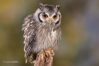 Southern White-faced Owl D50_4211.jpg