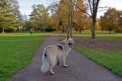 Random picture of the beautiful dog (Caulker) Tags: london canonspark germanshepherd