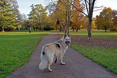 Random picture of the beautiful dog (Caulker) Tags: london canonspark germanshepherd