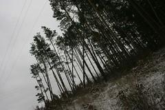 CRW_6150c (NorthernWinds) Tags: pine ambient black metal pinus sylvestris post rock seeking wildness solitude selfdestructive world evergreen refuge earthborn