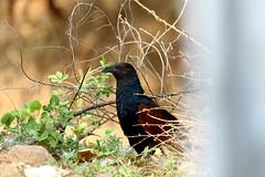 May2016 002 (Ravindra Rahulkar) Tags: nature naturephotography birds bird animals garden india wild wildlife