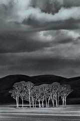 Small Group of Trees (bw version) (Jos Buurmans) Tags: agriculture bw black blackandwhite centralhawkesbay crops fields hawkesbay hills landscape nature newzealand northisland otane pukehou smallgroupoftrees tehauke trees white nz