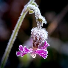 iced flower (Bea Antoni) Tags: tamron canon closeup nahaufnahme makro macro raureif plant pflanze frost vereist iced natur nature blume flower