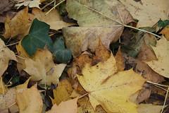 IMG_8996 (Geoff_B) Tags: badockswood bristol walkinthewoods autumn november unprocessed unedited