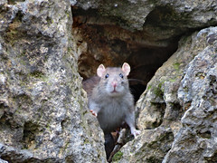 """Wild"" brown rat. (Vitaly Giragosov) Tags: rattusnorvegicus brownrat sevastopol sx50hs crimea canon mammals"