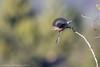Western Bluebird (gvall66) Tags: az bluebird sedona westernbluebird