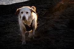 Golden (Jon Halvor Jonsrud Knutsen) Tags: bygdy norway oslo sniff bokeh dog outdoor photoqapture puppy walk weekend