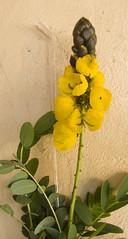 Cassia didymobotrya_Popcorn Cassia