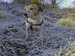 Jack Frost Russell - 52 Weeks For Dogs, 49/52 (me'nthedogs) Tags: 52weeksfordogs 4952 snaps terrier jackrussell jrt frost