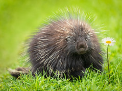 Porcupine (Tracy Munson Photography) Tags: canada forillon forillonnationalpark gaspe gaspepeninsula gaspesiana gaspesie gaspé gaspépeninsula gaspésiana gaspésie parkscanada quebec mammal porcupine quills rodent tourism travel wildanimal wildlife