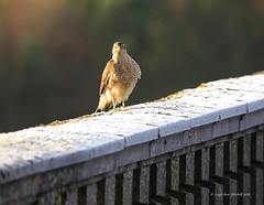SPARROWHAWK (Leigh-Ann Mitchell Photography) Tags: sparrowhawk bird nature wildlife scotland of prey raptor