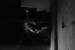 Dark Portrait (1/2) (Vasquezz) Tags: katze cat sibirisch sibirische siberian waldkatze forestcat сибирская кошка sibirischewaldkatze siberianforestcat сибирскаякошка zarah zarin tsarina mono sw bw