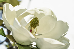 Magnolia Grande (Renate Bomm) Tags: andalusien baeume magnoliagrandiflora natur spanien 366 2016 canoneos6d plazaermita renatebomm southernmagnolia white colour weis high naturallight natürlicheslicht highkey ef24105mmf4l cgn flickrunitedaward tree baum magnolie nature 2016onephotoeachday bw black españa