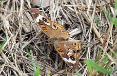 Buckeye Colors (zeesstof) Tags: butterfly commonbuckeye containmentpond insect junoniacoenia naturewalk sterlingridge texas thewoodlands zeesstof
