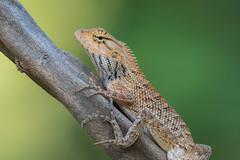 Oriental Garden Lizard (BP Chua) Tags: lizard animal reptile oriental garden nature wildlife wild nikon photography d750 telephoto gbtb singapore asia allnaturesparadise autofocus