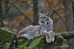 Lynx (Hugo von Schreck) Tags: hugovonschreck outdoor tier animal lynx luchs cat katze germany europe hainburg hessen deutschland canoneos5dsr tamronsp150600mmf563divcusda011 onlythebestofnature