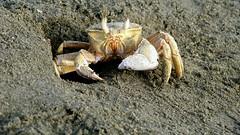 Crab (MaxPav) Tags: sand beach bay sea redsea crab