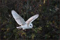 Barn Owl (image 1 of 2) (Full Moon Images) Tags: wildlife nature bird prey birdofprey barn owl flight flying cambridgeshire fens east anglia