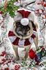 Pug Christmas Card (DaPuglet) Tags: pug dog christmas holiday christmascard greeting card greetingcard santa snow costume animals pets dapuglet baileypuggins pugs dogs winter art artwork pet