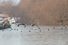 untitled (robwiddowson) Tags: geese flying gaggle bird birds animal animals nature natural wildlife river thames oxford winter robertwiddowson photo photography image picture photograph