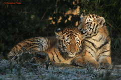 Arila und Makar (Noodles Photo) Tags: arila makar dasha zooduisburg pantheratigrisaltaica sibirischertiger amurtiger tierkinder tigercubs zoo tiger raubtier groskatze säugetier