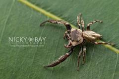 Mangrove Jumper (Ligurra latidens) - DSC_7571 (nickybay) Tags: macro indonesia island spider jumping mangrove jumper salticidae ligurra nikoi nikoiisland latidens