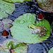 Bullfrog in rain. Photo: Butch Bramhall, Croghan, NY