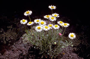 Photo - Cutleaf Fleabane