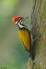 Common Flameback Woodpecker (male) (Ken Goh thanks for 2 Million views) Tags: lighting wild tree cute male field pose woodpecker flickr dof pentax sigma clean npc perch common depth avian creamy flameback 500f45 k5iis
