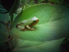 Young Tree Frog. (Greg Eicher) Tags: usa nature tripod olympus pinhole frog wanderlust wv westvirginia pinholecamera bridgeport ep2 digitalpinholecamera micro43 microfourthirds wanderlustcameras pinwide gregeicher